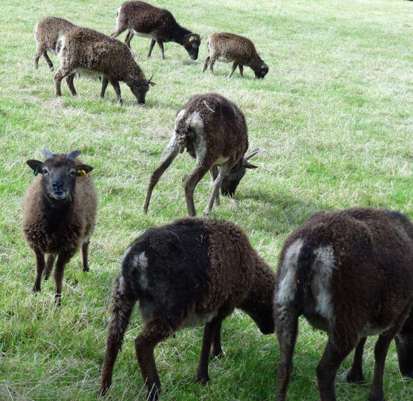 Lambs at Amelia Trust Farm